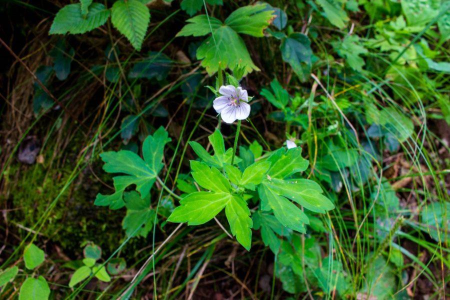 ゲンノショウコらしき花