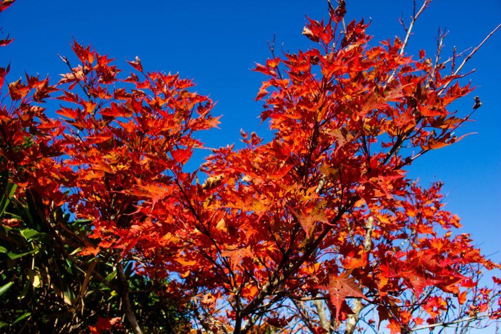 真っ赤に色づいた葉